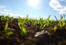 Chwasty w kukurydzy – sposoby zwalczania